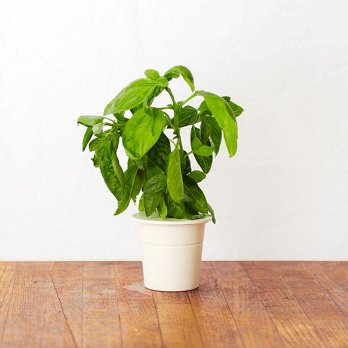 Basilico Ricariche